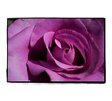 Flimsy, flowy, Dark Pink Rose Photographic Print