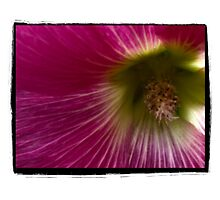 Closeup of a Hollyhock  by gloriart