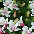 Peruvian Lilies by JimPavelle
