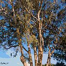 Mission Ranch Eucalyptus - Carmel, CA by JimPavelle