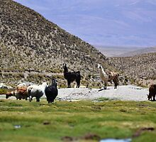 Llamas in the andean puna 2 by Daniele Iengo