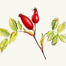 Rosehips, Rosa canina fine art watercolor by Sarah Trett