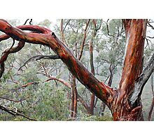 Eucalypts in Mist Photographic Print