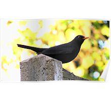 Blackbird Perching On A Fence Poster