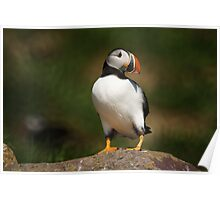 Atlantic Puffin, Witless Bay Ecological Reserve, NL Poster