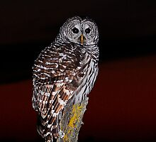 barred owl by George  Close