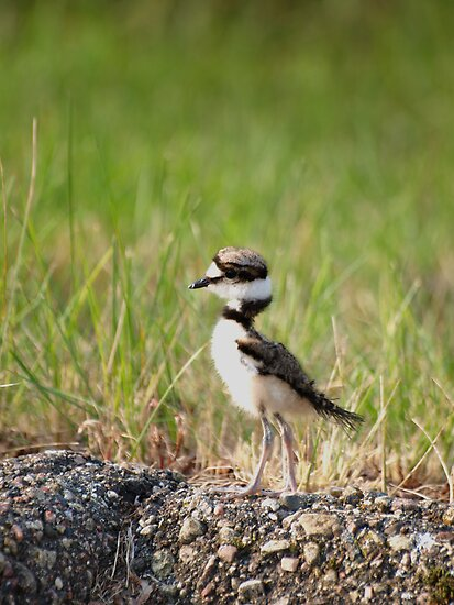 Baby Killdeer 2 by Thomas Young