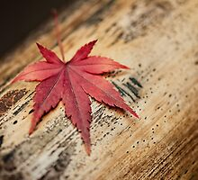 Japanese Maple Leaf by 3523studio