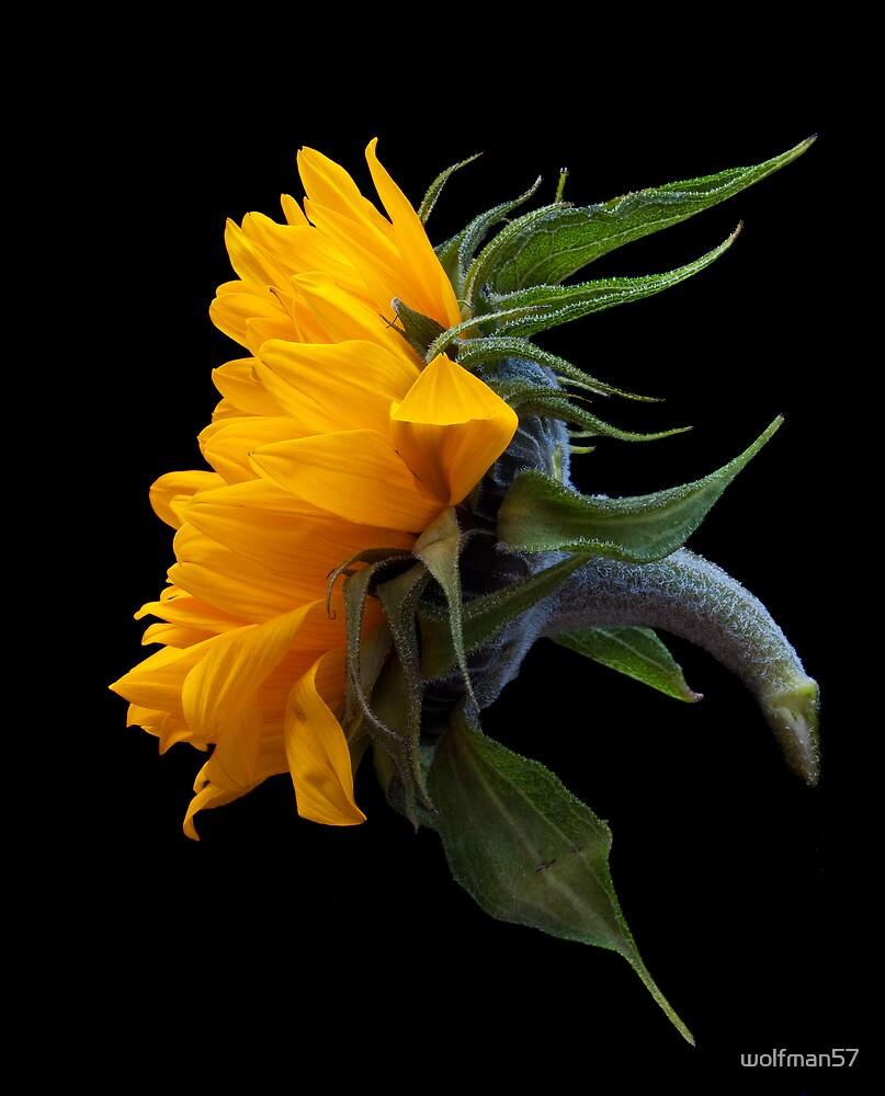 sunflower head by wolfman57