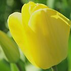 Spring Tulip by dbatiste