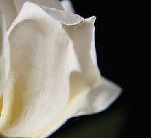Sunny white rose by papillonphoto