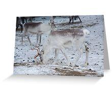 Reindeer - Äkäslompolo, Ylläs, Lapland Greeting Card