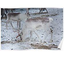 Reindeer - Äkäslompolo, Ylläs, Lapland Poster