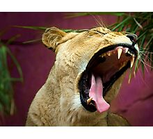A Lioness Roars Photographic Print
