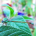 145/365 damselfly  by LouJay