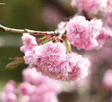 Cherry blossom by NaomiGrace
