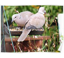 Two Doves Eating Bird Seeds Poster