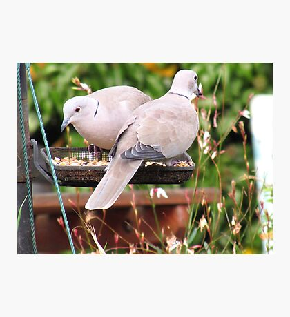 Two Doves Eating Bird Seeds Photographic Print