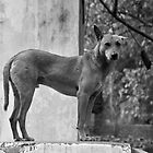 New Delhi dog by Jean-Michel Dixte