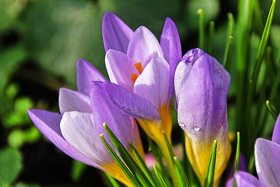 Early Crocuses  by Susie Peek