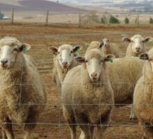 What are ewe's looking at? Sticker