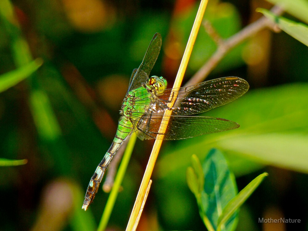 Eastern Pondhawk Female Dragonfly - Erythemis simplicicollis by MotherNature