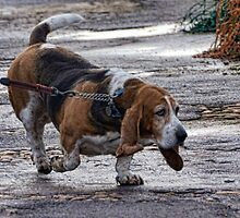 Cleo The Basset Hound by lynn carter