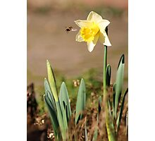 The First Daffodil of the Year Photographic Print