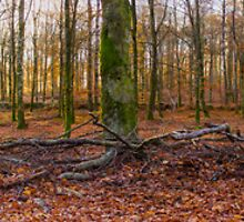 Exploring the enchanted woods [Gamla Åminne Naturreservat panorama] by João Figueiredo