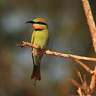 Rainbow Bee-eater by Ursula Rodgers