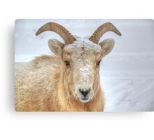 Frosty Ram Canvas Print