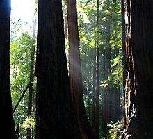 Redwood Sun Rays, Muir Woods, California by aidan  moran