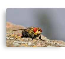 Red eye fly 01 Canvas Print