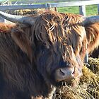 Highland Cattle in Glastonbury 3 by max  randall
