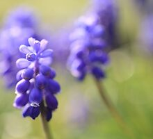 Muscari by Ursula Rodgers