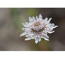 White Scabiosa (Pincushion) Flower Head Photographic Print