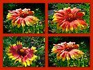 Blanket Flower - Gaillardia - v. Fanfare by MotherNature