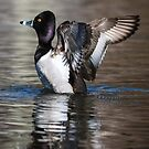 Ring-necked Duck Drake: A Big Stretch by John Williams