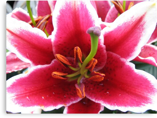 Stunning Pink Asiatic Lily Supermacro by MidnightMelody