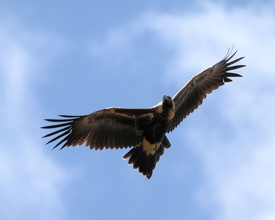Wedge=Tailed Eagle Canberra by Kym Bradley
