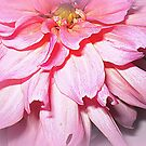 Lovely Pink Petals of the Dahlia by EdsMum