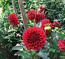 Red Dahlias in The Garden by Jane Neill-Hancock