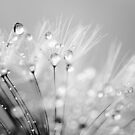 Dandelion Seed with Water Droplets in Black and Wh by Natalie Kinnear