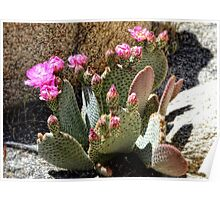 Desert Plants - Fuchsia Cactus Flowers Poster