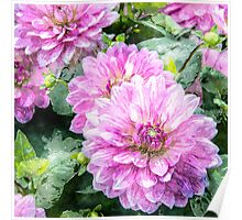 Red dahlia flowers Poster