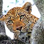 These tree branches are my leopards world! by jozi1