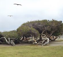 Intriguing Gnarly Monterey Cypress by seeingred13