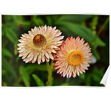 Peach Strawflowers Poster