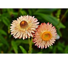 Peach Strawflowers Photographic Print