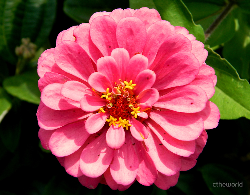 Pink POW!!!    ^ by ctheworld